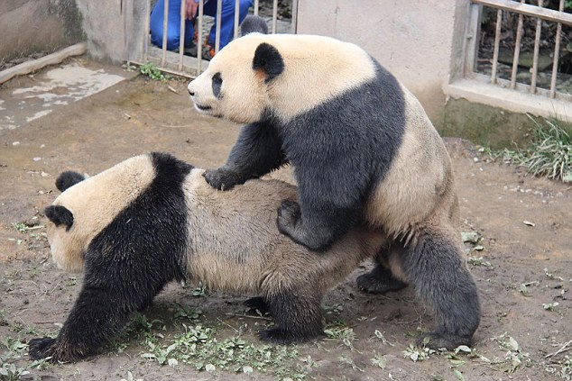 Секс панда с пандай