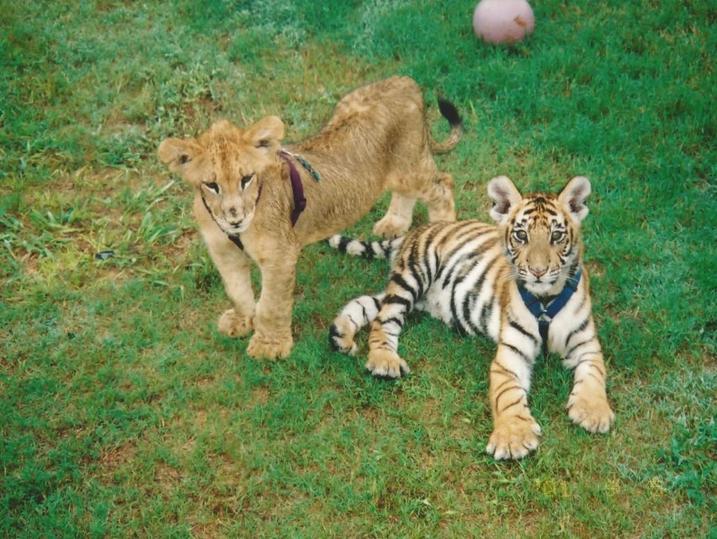 Прикольные ночь, картинки львы и тигры