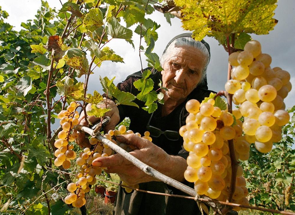 Сбор винограда прикольные картинки