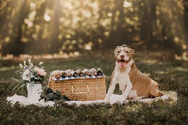 "Фото ""сияющей"" мамы-питбуля со щенятами восхитили ..."