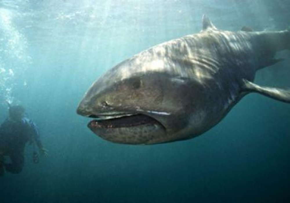 © megamouth-shark.etc64.com